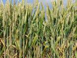 Пшеница – Wheat - photo 1