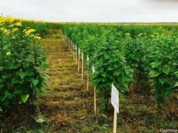 Семена Топинамбур - photo 2