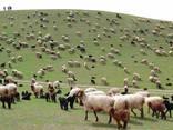 Sheep's wool - фото 4