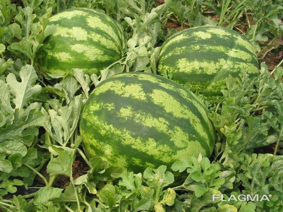 We sell WATERMELON
